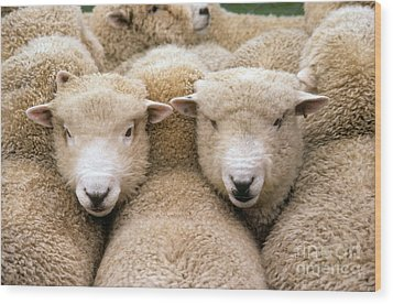 Romney Sheep Wood Print by Gregory G Dimijian and Photo Researchers