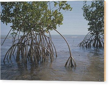 Root Legs Of Red Mangroves Extend Wood Print by Medford Taylor