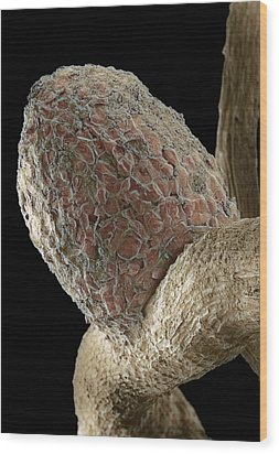 Root Nodule Wood Print by Dr Jeremy Burgess