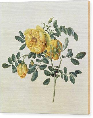 Rosa Hemispherica Wood Print by Georg Dionysius Ehret