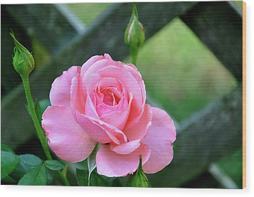 Wood Print featuring the photograph Rose And Fence by Helen Haw