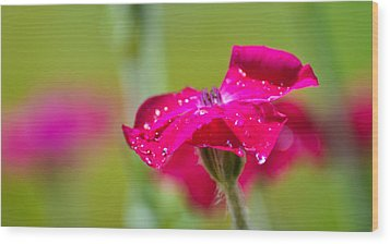 Wood Print featuring the photograph Rose Campion by Ronda Broatch