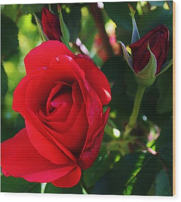 Rose Delight Wood Print by Bruce Bley