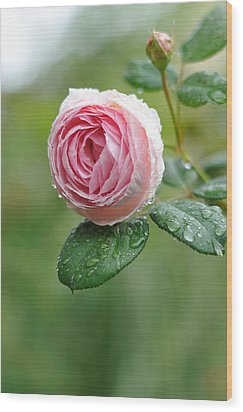 Rose  'geoff Hamilton' Wood Print by Myu-myu
