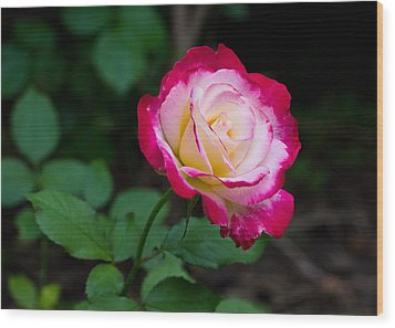 Rose IIi Wood Print by Tim Fitzwater
