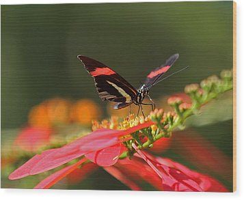 Rosina Butterfly Wood Print by Juergen Roth