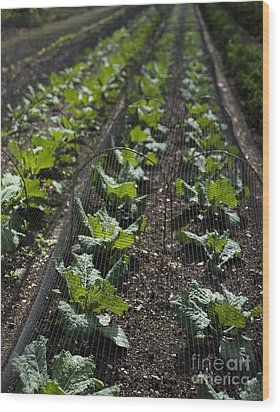 Rows Of Cabbage Wood Print by Anne Gilbert