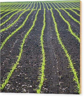 Rows Of Maize Seeds Wood Print by Baerbel Wilm