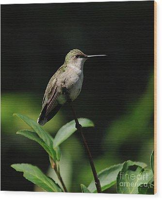 Ruby-throated Hummingbird Female Wood Print