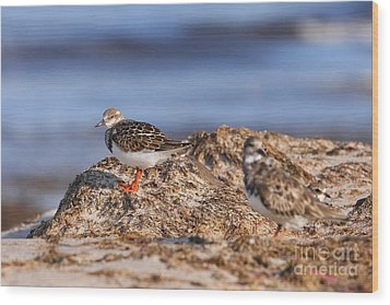 Ruddy Turnstone  Wood Print by Jennifer Zelik