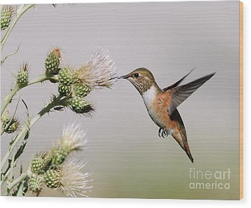 Rufous Hummingbird Wood Print by Doug Herr