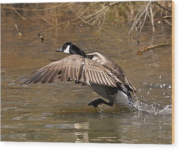Running Atop The Water Canada Goose  - C2660a Wood Print by Paul Lyndon Phillips