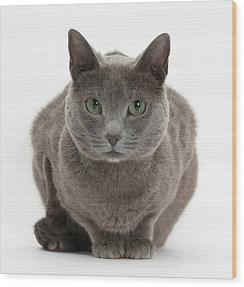 Russian Blue Cat Wood Print by Mark Taylor