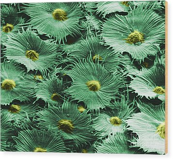 Russian Silverberry Leaf  Wood Print by Asa Thoresen and Photo Researchers