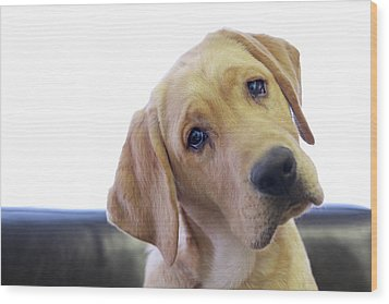 Sad Looking Yellow Lab With Head Tilted On Chair Wood Print by Back in the Pack dog portraits