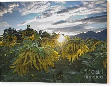 Sad Sunflowers Wood Print by Mats Silvan