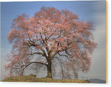 Wood Print featuring the photograph Sakura Sakura 1 by Tad Kanazaki