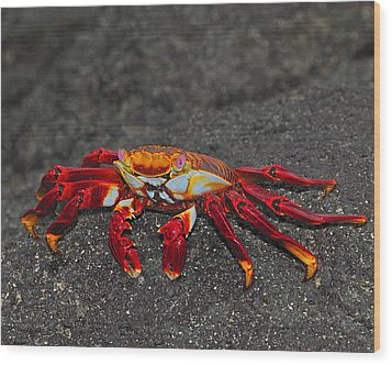 Sally Lightfoot Crab Wood Print by Tony Beck