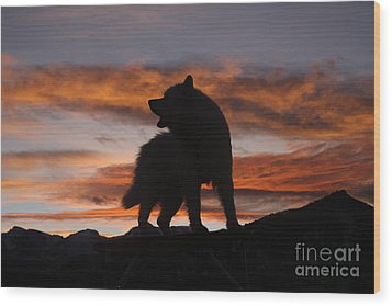 Samoyed At Sunset Wood Print by Kent Dannen and Photo Researchers