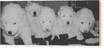 Samoyed Puppies Wood Print by Tammy Sutherland