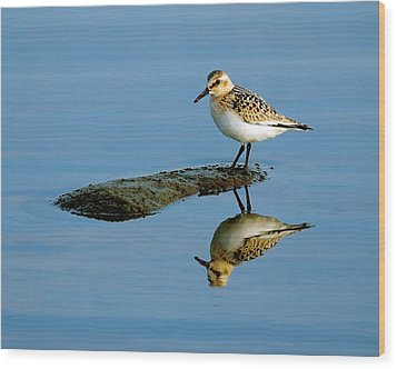 Sanderling Reflecting Wood Print by Tony Beck