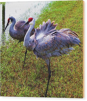 Sandhill Cranes-plumes In Bloom Wood Print