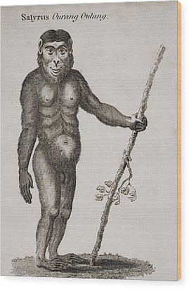 Satyrus, Ourang Outang. Engraved By Wood Print by Ken Welsh