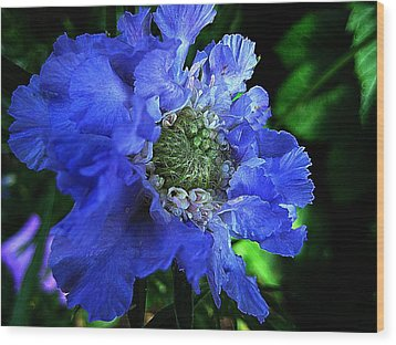 Scabiosa Wood Print by Shirley Sirois