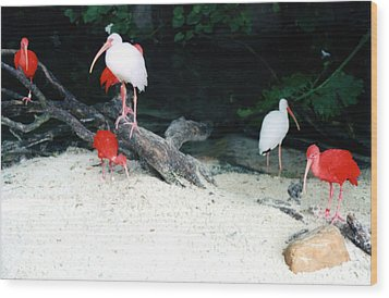 Wood Print featuring the photograph Scarlet Ibis And Spoonbills by Maureen E Ritter