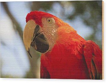 Scarlet Macaw Parrot Wood Print by Adam Romanowicz