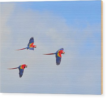 Scarlet Macaws Wood Print by Tony Beck