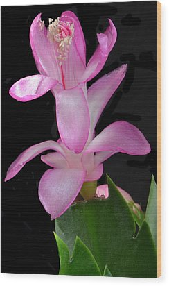 Schlumbergera Bloom. Wood Print by Terence Davis