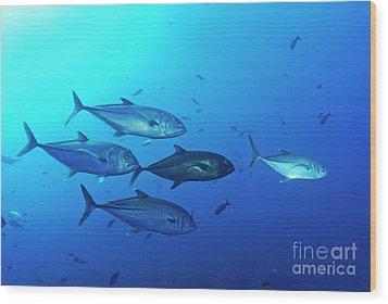 School Of Bigeye Jack Fishes Wood Print by Sami Sarkis