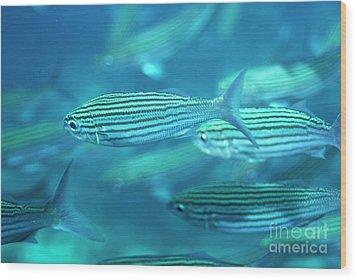 School Of Black Striped Salema Fishes Wood Print by Sami Sarkis