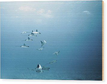 School Of Devil Rays Wood Print by Alexander Safonov