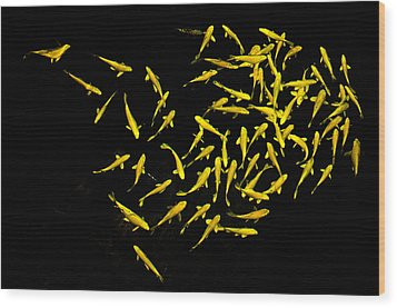 School Of Golden Koi Wood Print