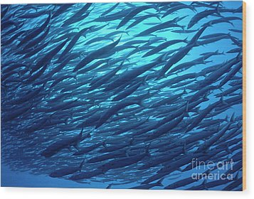 School Of Pelican Barracudas Wood Print by Sami Sarkis