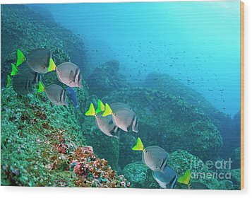 School Of Razor Surgeonfish On Rocky Seabed Wood Print by Sami Sarkis
