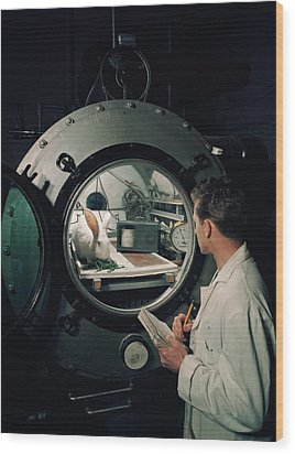 Scientist Observes A Rabbit, 1960s Wood Print by Archive Holdings Inc.