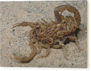 Scorpion With Young Wood Print by Dante Fenolio