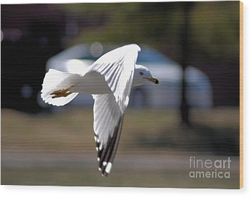 Sea Gull In Flight Wood Print