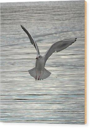Sea Gull Wood Print by Tom Gallacher