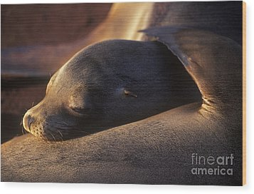 Wood Print featuring the photograph Sea Lion - Galapagos by Craig Lovell