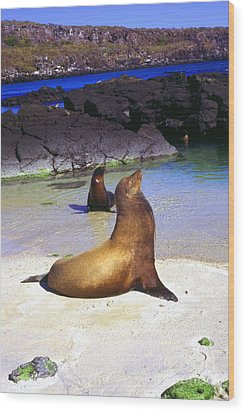 Sea Lions On Genovesa Island Wood Print by Thomas R Fletcher