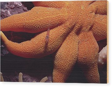 Sea Star With Red Shrimp Baffin Island Wood Print by Flip Nicklin