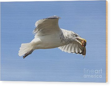 Seagull With Snail Wood Print by Carol Groenen