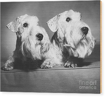 Sealyham Terriers Wood Print by M E Browning and Photo Researchers