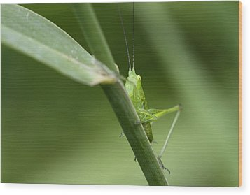 Secretive Katydid Wood Print by Brian Magnier