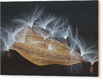 Wood Print featuring the photograph Seed Pod-4- St Lucia by Chester Williams
