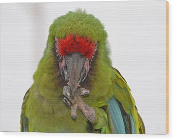 Self-conscious Parrot Wood Print by Naomi Berhane